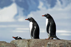 Antarctic Gentoo penguins. Three gentoo penguins resting on a rocky outcrop in Antarctica stock images