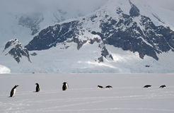 Antarctic Gentoo penguins. Gentoo penguins walking across sea ice in Antarctica stock photo