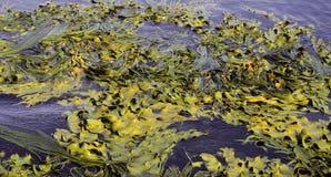 Antarctic kelp Royalty Free Stock Photos