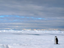 Antarctic Landscape. A lonely penguin is the overlord of snow desert stock photography