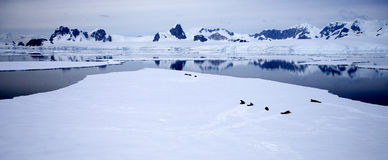 Antarctic Landscape. With seals sleeping on the ice Stock Image
