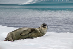 Antarctic leopard seal. A leopard seal on an iceberg in Antarctica stock photos