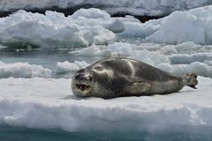 Antarctic Leopard Seal & Gentoo Penguin Stock Photography