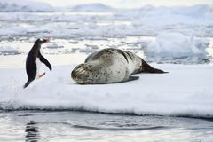 Antarctic Leopard Seal & Gentoo Penguin Royalty Free Stock Photo