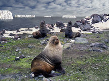 Antarctic macho. Family of antarctic fur seals royalty free stock photography