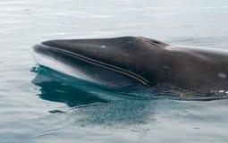 Antarctic Minke whale surfacing, Antarctic Peninsula royalty free stock photos
