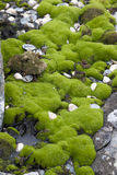 Antarctic mosses. Antarctic mosses, Antarctic summer Stock Photography
