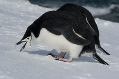 Antarctic penguin. Antarctic penguin eating snow Royalty Free Stock Photos