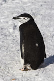 Antarctic penguin or Chinstrap which goes through Stock Photography