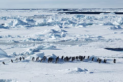 Antarctic penguin march. Group of adelie penguins marching in front of a beautiful Antarctic pack ice scenery Royalty Free Stock Photos