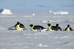 Antarctic penguin procession Stock Photos