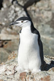 Antarctic penguin on the rocks of the Antarctic summer. Stock Image
