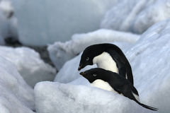 Antarctic Penguin(s) Royalty Free Stock Photos