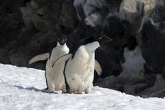 Antarctic Penguin(s) Stock Photography