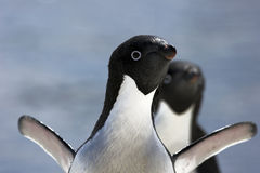 Antarctic Penguin(s) Stock Photo