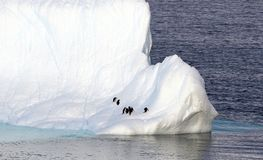 Antarctic Peninsula - Penguins on Huge Icebergs and blue ocean. Ice Stock Photo