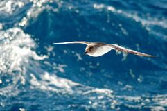 Antarctic petrel. Drifting in front of a blue wave at atorm royalty free stock photography