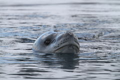 Antarctic sealion Stock Images