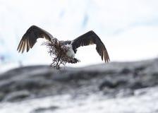 Antarctic Shag close up Royalty Free Stock Images