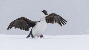 Antarctic Shag close up Royalty Free Stock Image