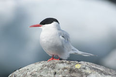 Antarctic Tern. Antarctic tern sitting on a rock Royalty Free Stock Photography