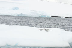 Antarctic tern on ice float Royalty Free Stock Photography