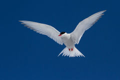 Antarctic Tern soars in the blue sky in sunny day Royalty Free Stock Photos