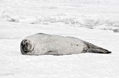 Antarctic Weddell Seal. A picture of a Weddell seal. Antarctica Royalty Free Stock Image