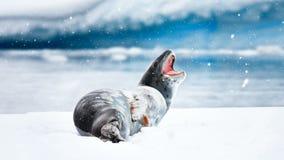 Antarctic Wildlife: gray seal lies on an ice floe stock video
