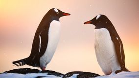 Antarctic Wildlife: two black and white penguins resting. Antarctic Wildlife. Two lovely black and white penguins standing on the rock in snowfall, sunset light stock video
