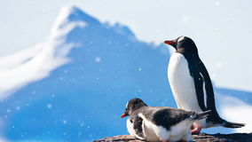 Antarctic Wildlife: two black and white penguins resting. Antarctic Wildlife. Two black and white penguins resting on the rock. Blue big iceberg in the stock footage