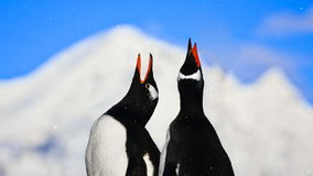 Antarctic Wildlife: two penguins singing. Antarctic Wildlife. Two penguins singing close up. Mountain in the background. Majestic winter landscape. Exploring stock video