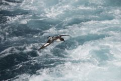 Antarctica birds flying against the ocean to catch some fish. Different kinds of Antarctica birds flying against the ocean to catch some fish stock photo