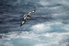 Antarctica birds flying against the ocean to catch some fish. Different kinds of Antarctica birds flying against the ocean to catch some fish stock images