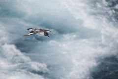 Antarctica birds flying against the ocean to catch some fish. Different kinds of Antarctica birds flying against the ocean to catch some fish stock photography