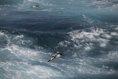 Antarctica birds flying against the ocean to catch some fish. Different kinds of Antarctica birds flying against the ocean to catch some fish stock photos
