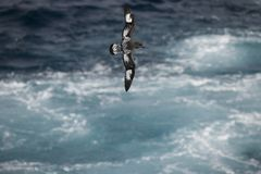 Antarctica birds flying against the ocean to catch some fish. Different kinds of Antarctica birds flying against the ocean to catch some fish royalty free stock photo