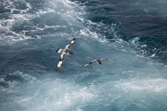 Antarctica birds flying against the ocean to catch some fish. Different kinds of Antarctica birds flying against the ocean to catch some fish royalty free stock photos