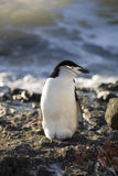 Antarctica - Chinstrap Penguin royalty free stock image