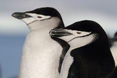 antarctica chinstrap pingwiny śpiący Obrazy Royalty Free