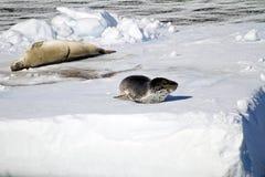 Antarctica - foka I lampart foka Zdjęcia Royalty Free