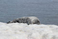 Antarctica - foki Zdjęcia Royalty Free