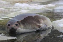 Antarctica - foki Obraz Royalty Free