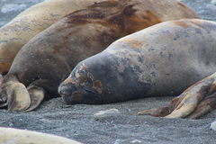 Antarctica - foki Fotografia Stock