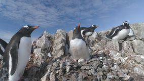 Antarctica gentoo penguin fight for pebble nest stock video footage
