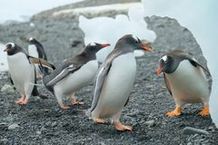 Antarctica Gentoo penguin party beneath iceberg royalty free stock image