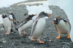 Antarctica Gentoo penguin party beneath iceberg royalty free stock image
