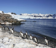 Antarctica - Gentoo Penguins royalty free stock photography