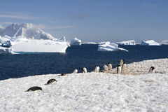 Antarctica gentoo penguins. Cuverville island and gentoo penguins in antarctica royalty free stock photography