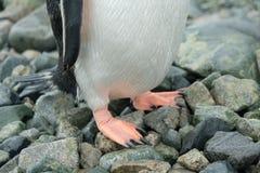 Antarctica Gentoo pingwinu stojaki na skalistej plaży z wodą opuszczają na piórkach, pomarańczowi cieki obrazy royalty free